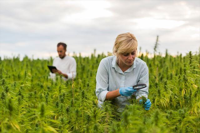 大麻草を調べる女性の画像